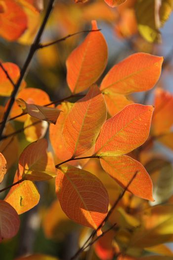 Bright red and orange autumn leaves on branches