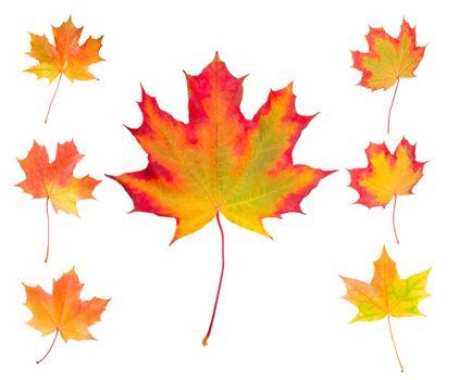 autumn maple leaves set, isolated on white