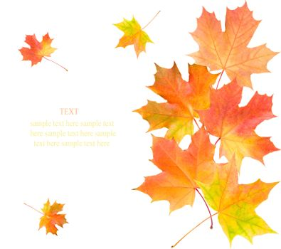 maple leaves background, isolated on white
