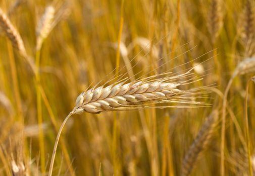 close-up ripe ear of wheat  in field