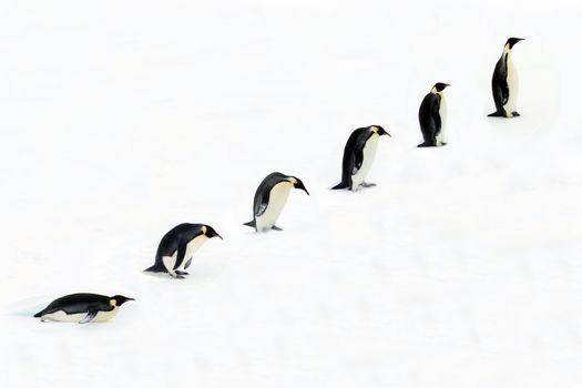 Evolution of the Emperor Penguin