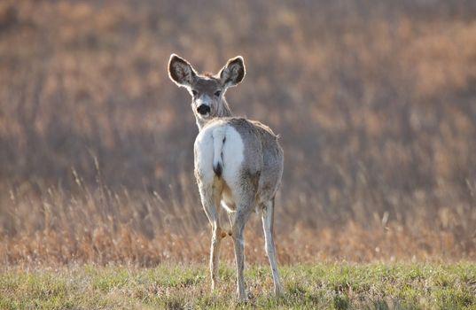 Mule Deer Saskatchewan