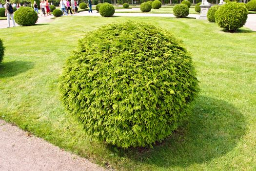 Arborvitae round bush