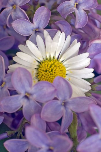 white daisy in the middle of purple flowers, shallow depth of view
