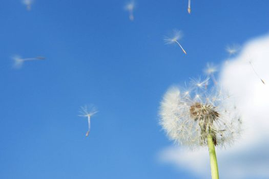 blowball dandelion clock at springtime in the wind