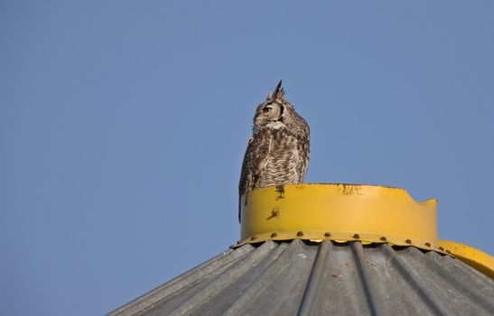 Great Horned Owl on Granary