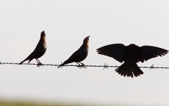 Cowbirds on a wire