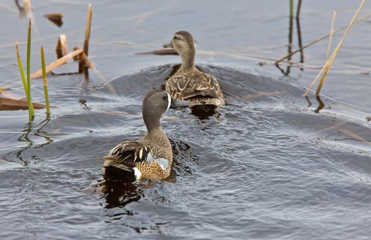 Blue Winged Teal in Pond
