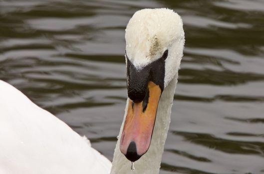Mute Swan Close Up