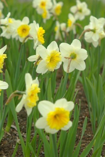 Tulips and daffodils in the meadow at spring