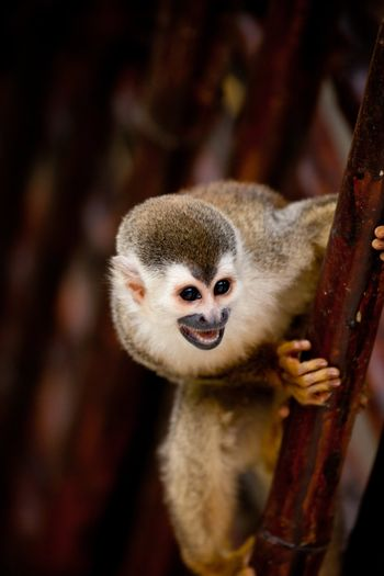 Squirrel monkey with mouth open