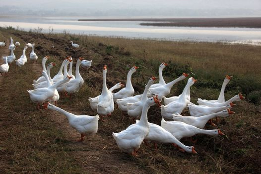 poultry, white goose and gander