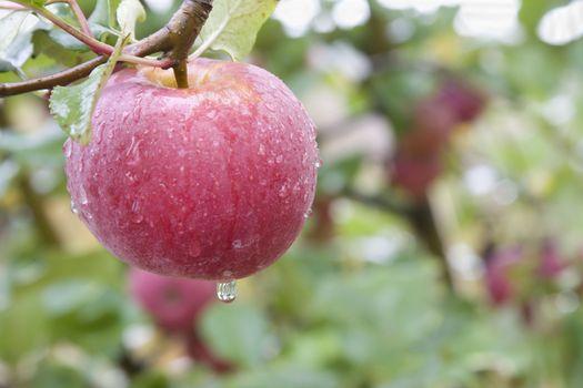 pinkish apple closeup