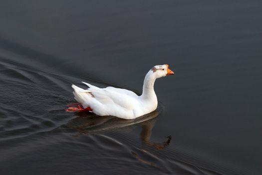 Animal, domesticated fowl, duck
