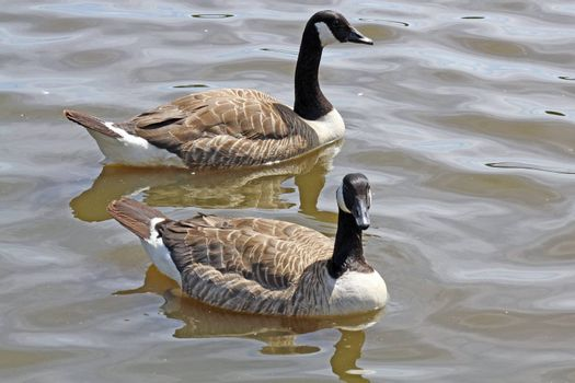 2 ducks on lake