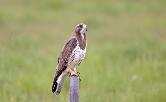 Hawk perched on fence post