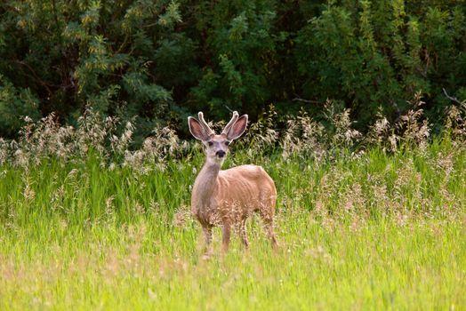 Buck with velvet on antlers