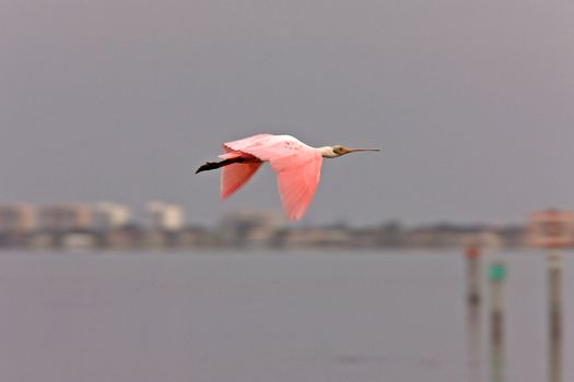 Rosette Spoonbill flying over Florida waters