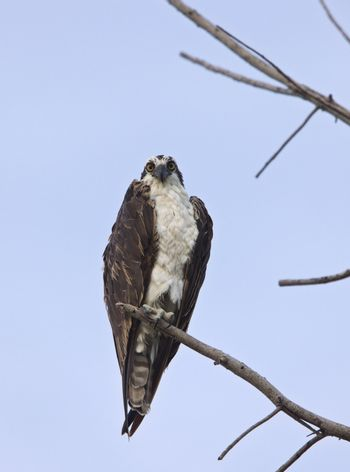 Osprey perched on bare branch
