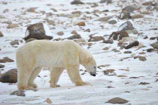 The polar bear trails