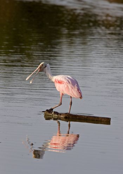 Rosette Spoonbill feeding in Florida waters