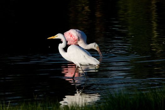 Rosette Spoonbill and Great White Egret in Florida waters