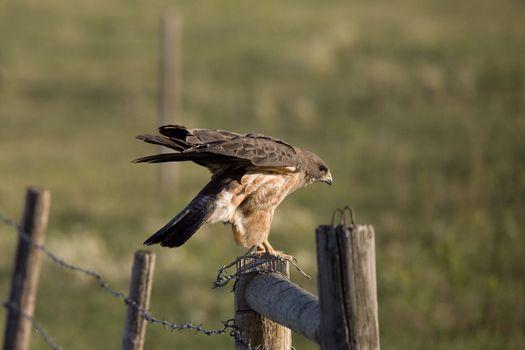 Hawk landing on fence post