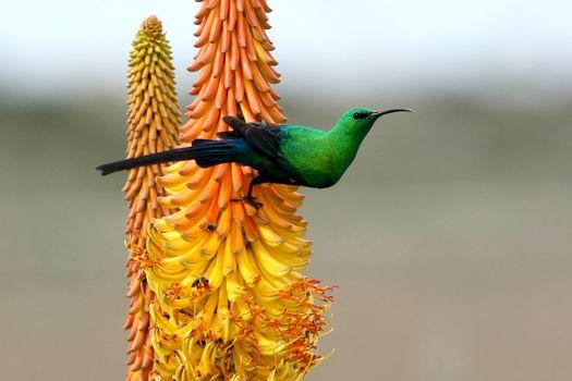 Beautiful Malachite Sunbird