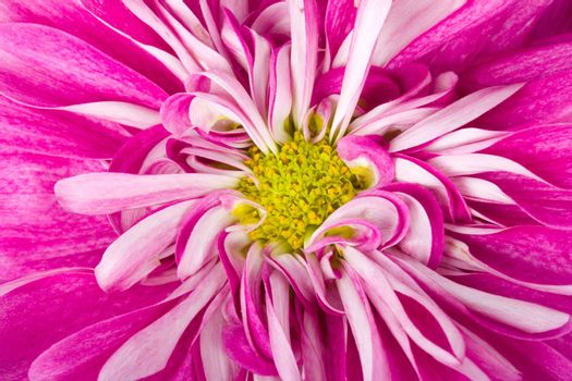 pink chrysanthemum flower, macro shot