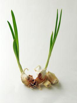 garlic germination