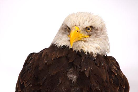 Eagle burst