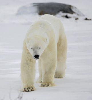 The polar bear going blindly