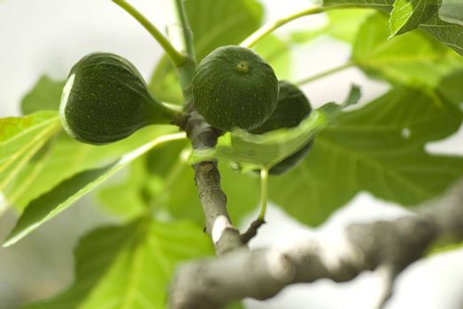 Unripe figs on the branch in spring day