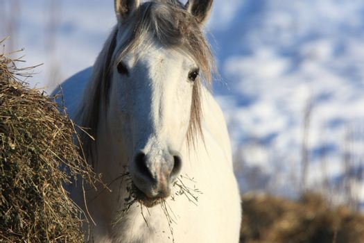 Horses in Winter Storm