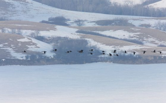 Early Spring Arrival Canada Geese in Flight