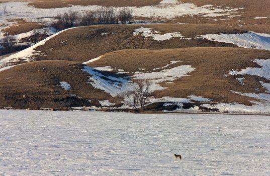 Lone Coyote on Frozen Lake Saskatchewan Canada