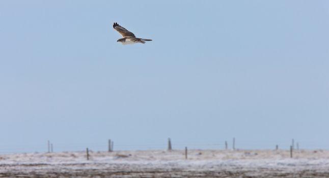 Hawk flying on the hunt Saskatchewan