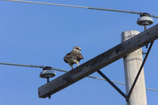 Rough Legged Hawk on Pole