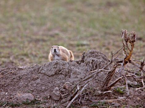 Prairie Dog in the Grasslands Saskatchewan