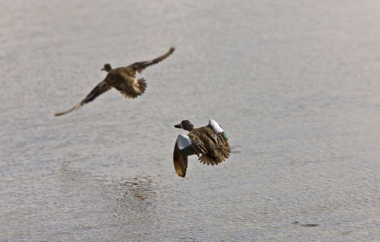 blue winged teal ducks in fight Canada