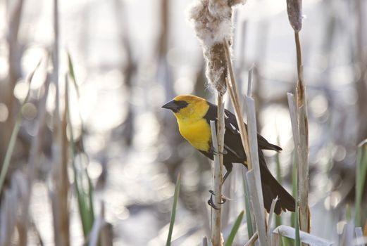 Yellow Headed Blackbird in Marsh Canada