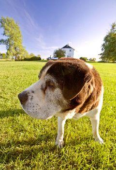 Saint Bernard dog on Hecla Island Manitoba