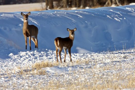 White Tail Deer in Winter