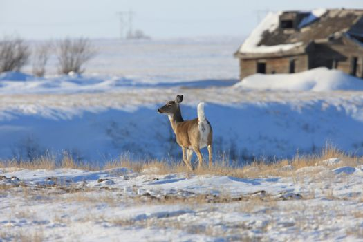 White Tail Deer in Winter Canada
