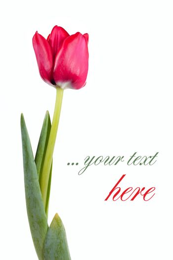 Fresh red tulip isolated over white with place for your text
