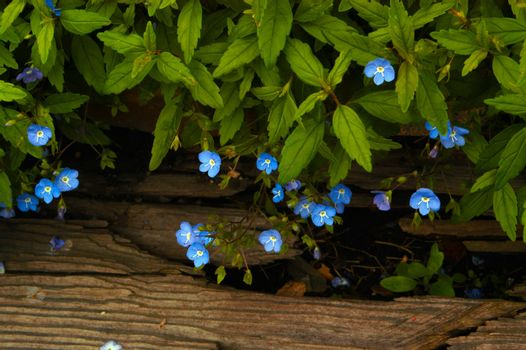Delicate tiny blue wildflowers with yellow centers hang gently over a piece of wood, creating a natural frame.