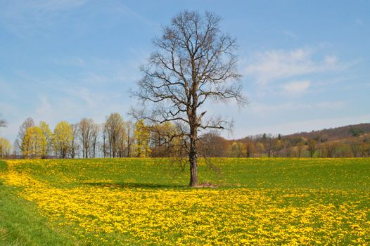 A lone oak stands tall & proud before it's leaves bud out-surrounded by bright yellow dandelions in this springtime scenic shot.