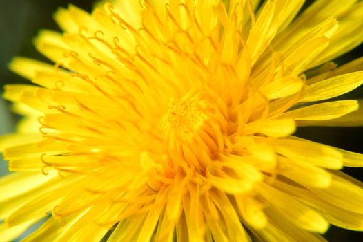 The delicate detail of a dandelion in macro.