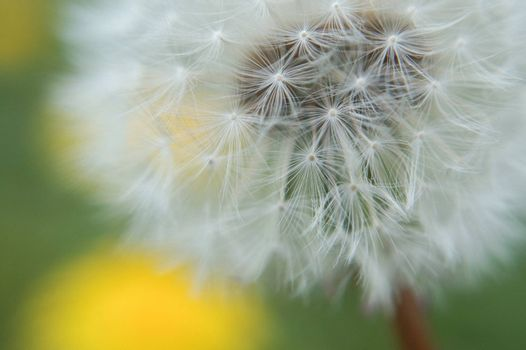 Old vs new in this shot of a spent dandelion, it's soft white seeds ready to blow away. Bright yellow dandelions are a blur in the background.