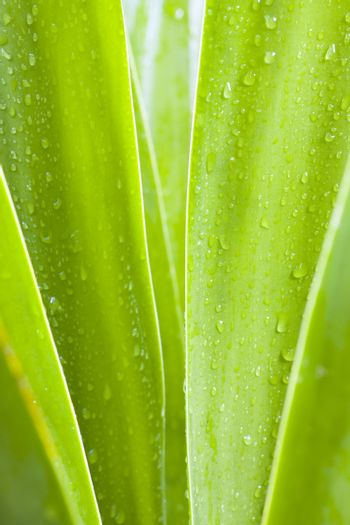 Waterdrops on the leaves of a tropical plant. Brazil.